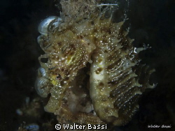 Hippocampus guttulatus by Walter Bassi 